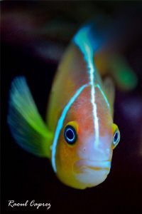 A curious clown fish by Raoul Caprez 